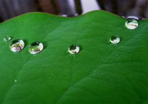 lotus-leaf-dew